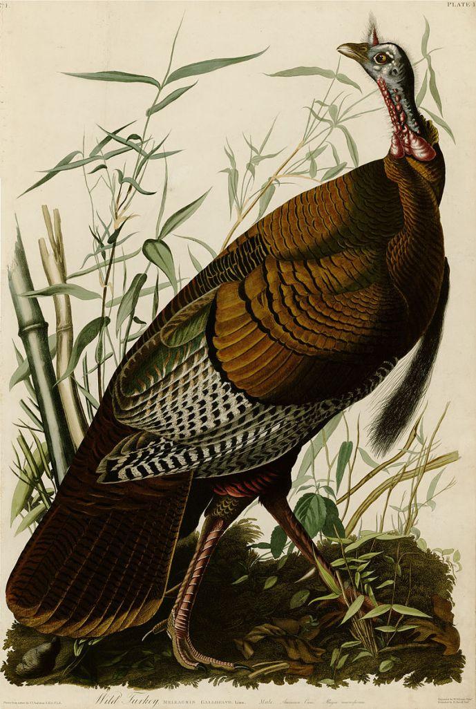 800px-1_Wild_Turkey